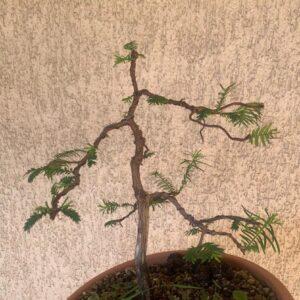bonsai de metasequoia