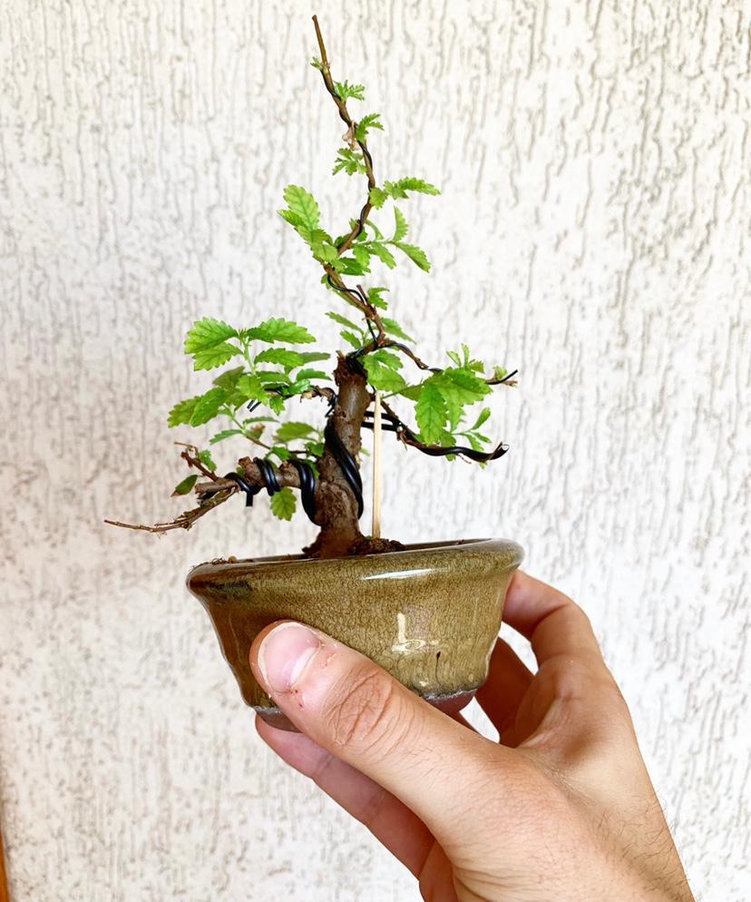 olmo nire mini bonsái