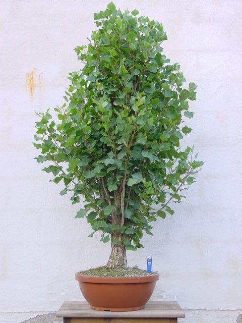 bonsái de alamo blanco