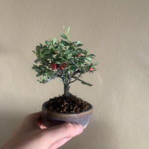 bonsái de cotoneaster damneri