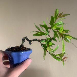 bonsái granado nejikan