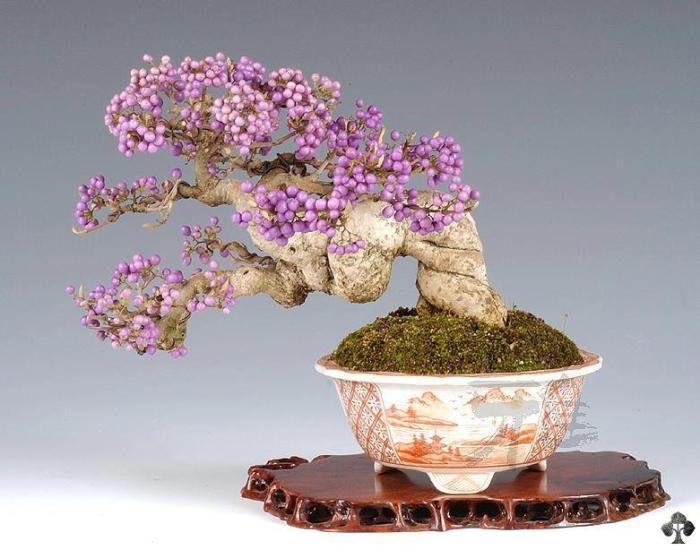 callicarpa bonsai