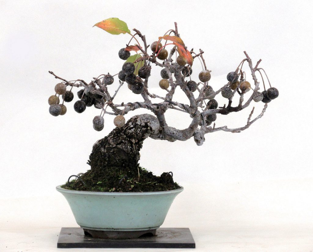 bonsai peral