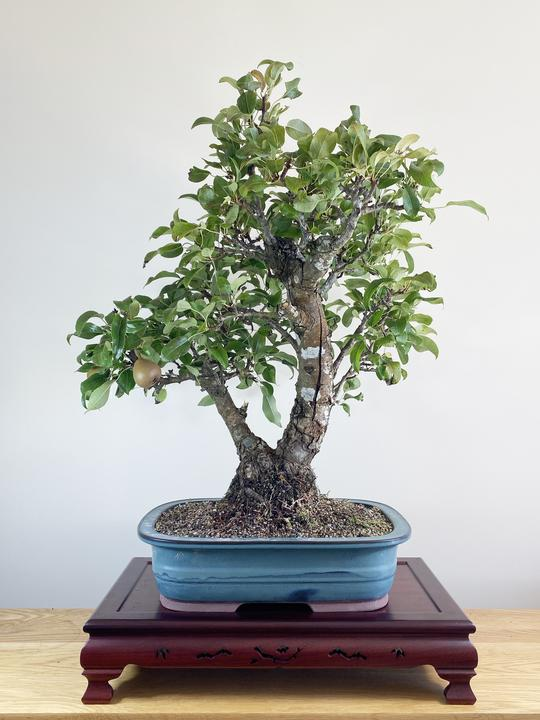 bonsai de peral