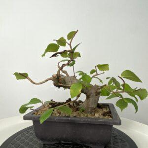 olmo minor bonsai