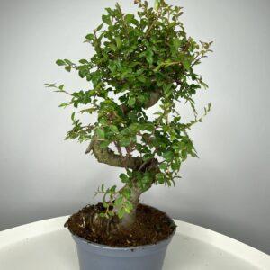 bonsai de olmo chino