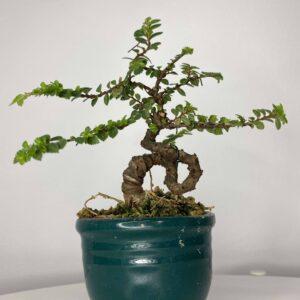 bonsai de olmo hokkaido